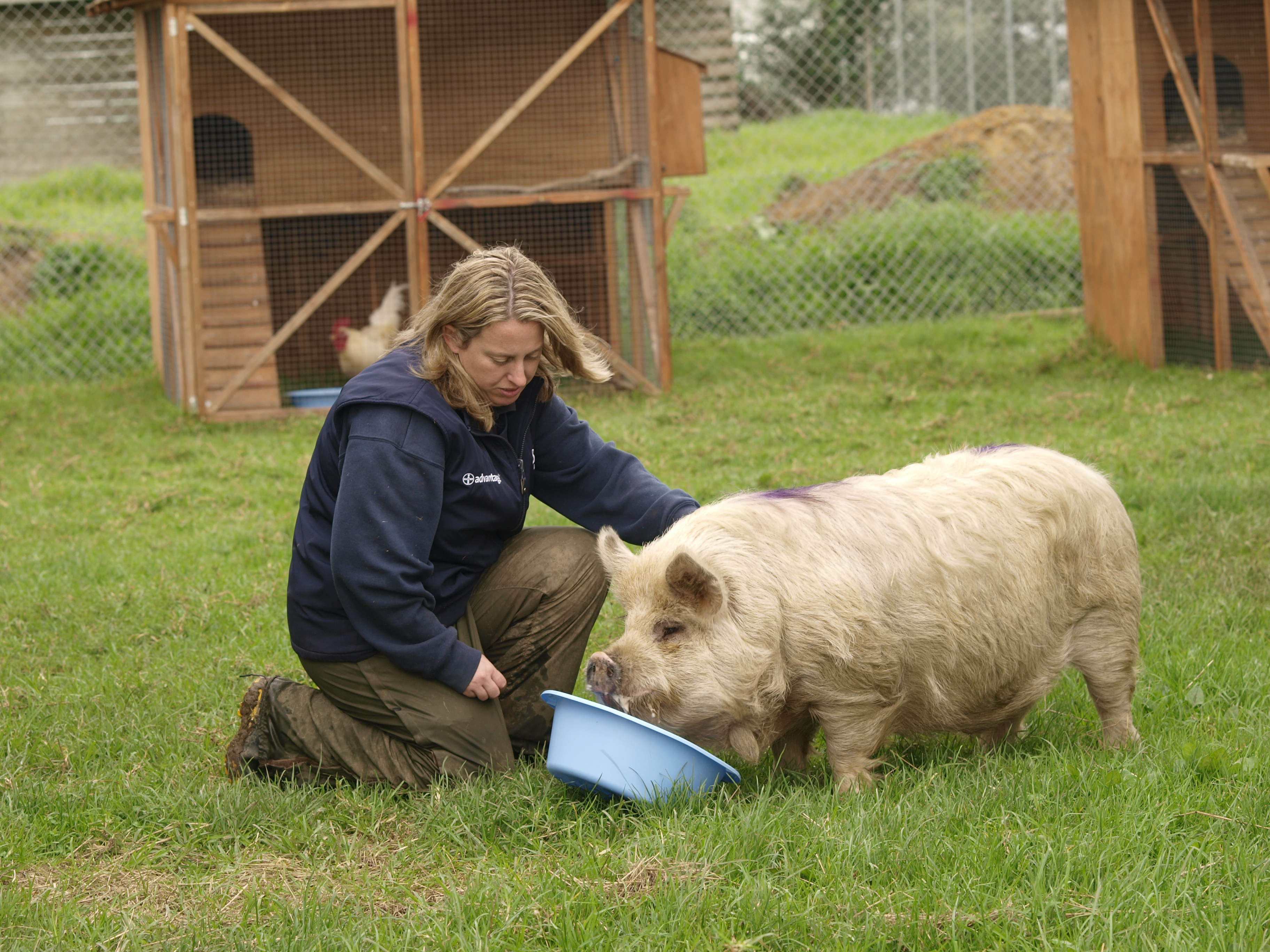 Caring for a kune kune pig