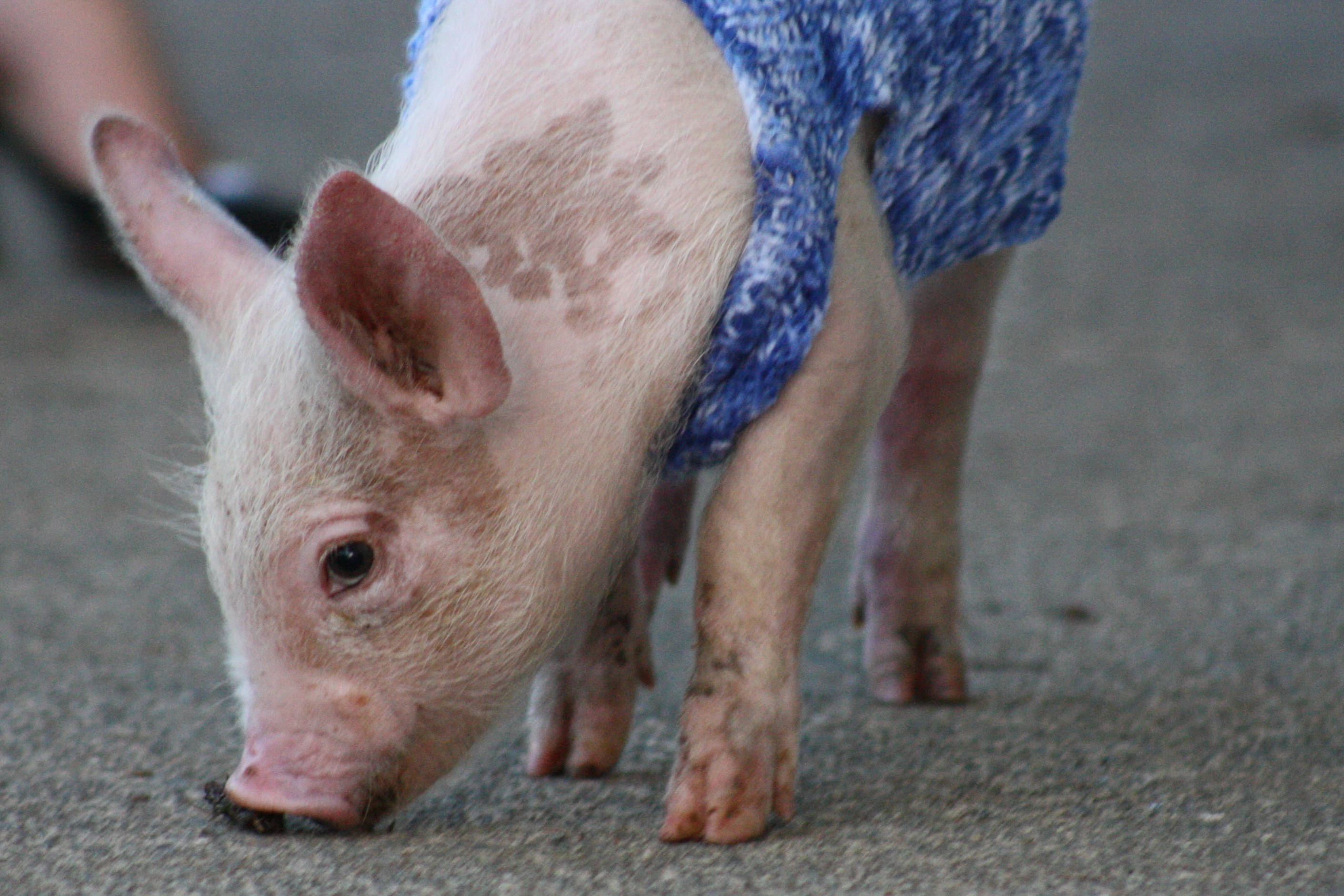 Gemma, a piglet cared for at home and at the SPCA base