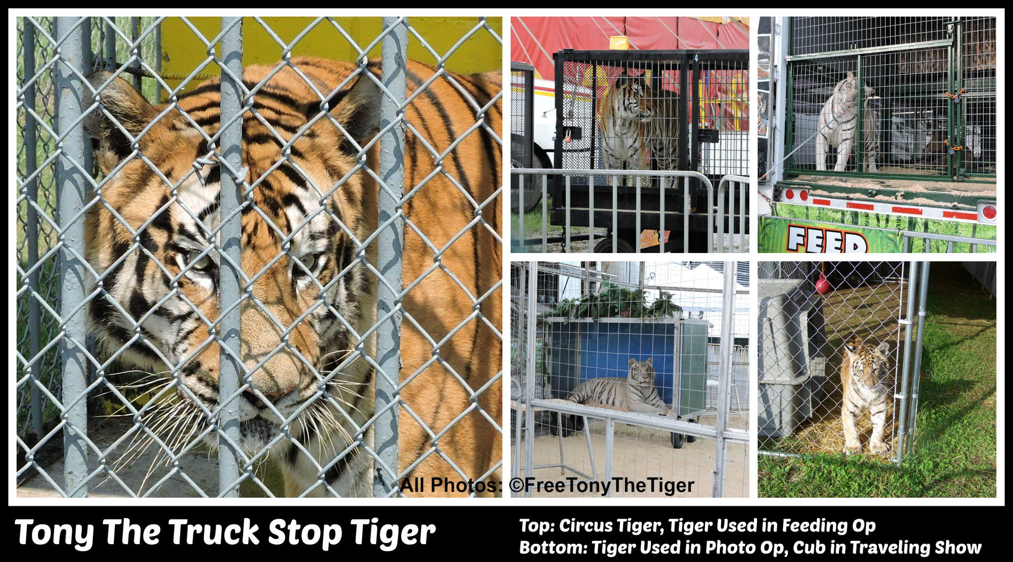 Roar for Tony & Captive Tigers on World Animal Day