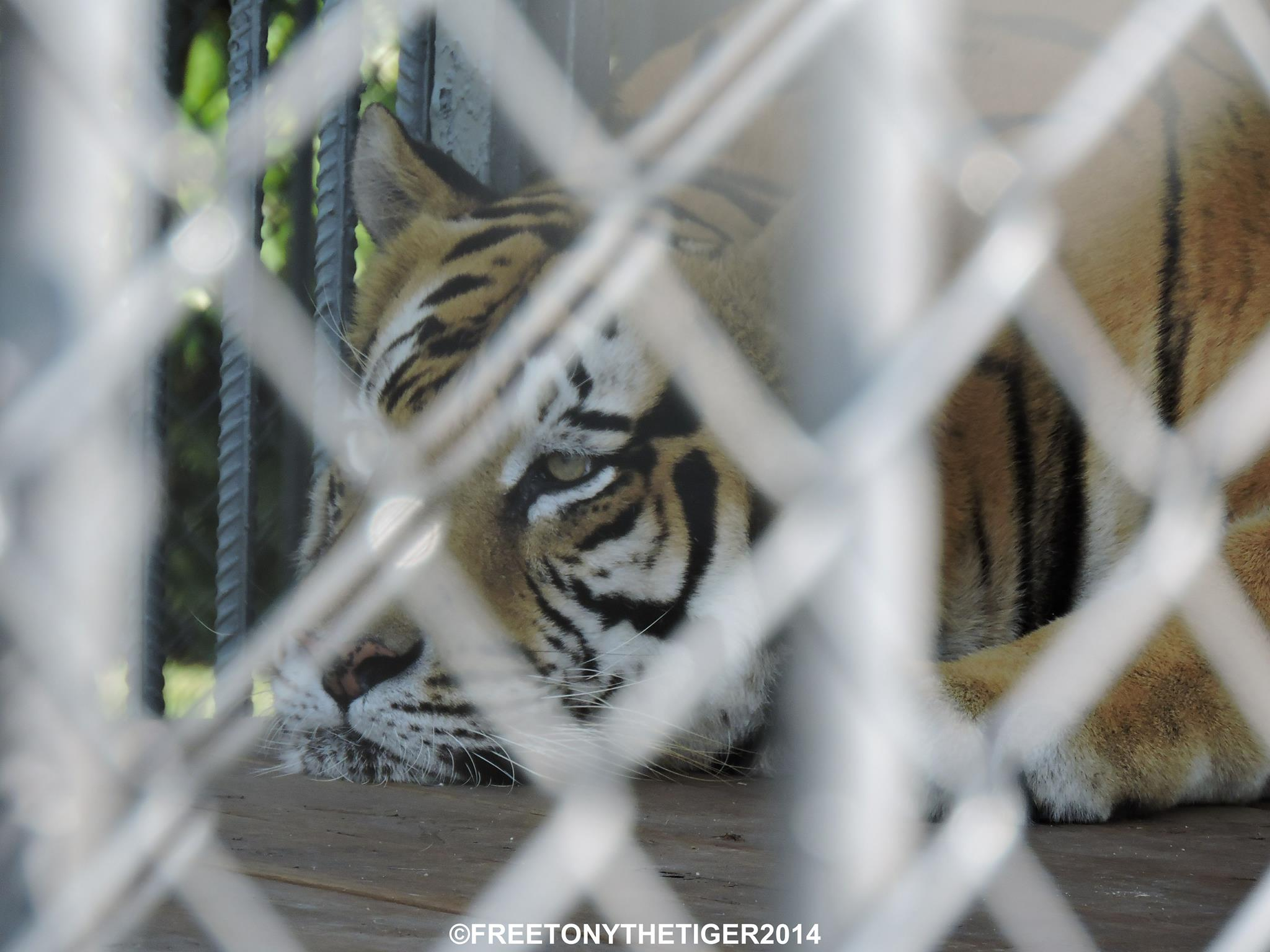 Roar for Tony the tiger & captive big cats in the US!