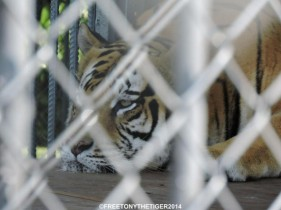 Remembering Tony The Tiger on World Animal Day