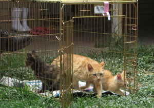 AACL'S Feral Cat Spay-A-Thon a great success!
