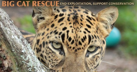 Big Cat Rescue's Wildcat Walkabout for World Animal Day 2016